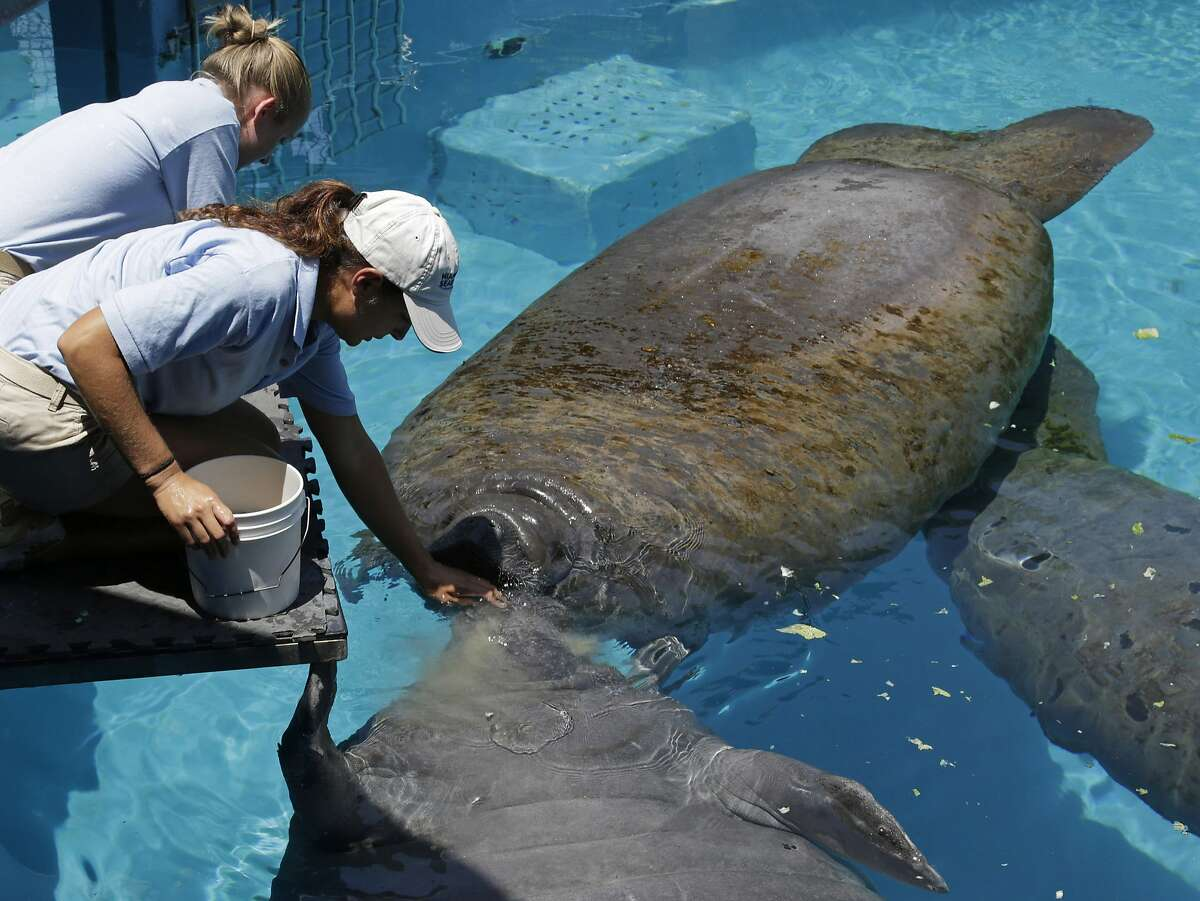 """In this photo taken Wednesday, Aug. 6, 2014, caretaker Joelle Palmer, foreground and intern Ally Levy, background, feed the manatees at the Miami Seaquarium in Key Biscayne, Fla. The U.S. Fish and Wildlife Service is reviewing whether the manatee should be reclassified as a """"threatened"""" species, which would allow some flexibility for federal officials as the species recovers while maintaining most of the protections afforded to animals listed as endangered. (AP Photo/Alan Diaz)"""
