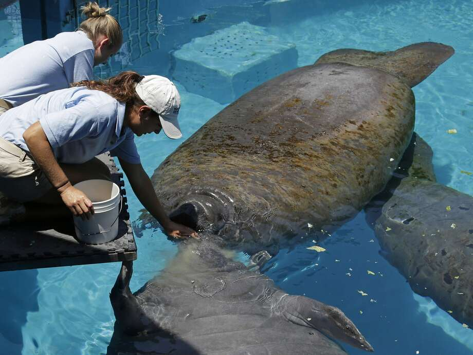 "In this photo taken Wednesday, Aug. 6, 2014, caretaker Joelle Palmer, foreground and intern Ally Levy, background, feed the manatees at the Miami Seaquarium in Key Biscayne, Fla. The U.S. Fish and Wildlife Service is reviewing whether the manatee should be reclassified as a ""threatened"" species, which would allow some flexibility for federal officials as the species recovers while maintaining most of the protections afforded to animals listed as endangered. (AP Photo/Alan Diaz) Photo: Alan Diaz, Associated Press"