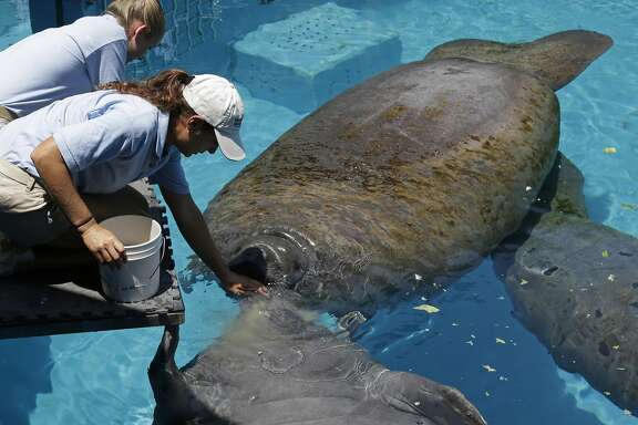"In this photo taken Wednesday, Aug. 6, 2014, caretaker Joelle Palmer, foreground and intern Ally Levy, background, feed the manatees at the Miami Seaquarium in Key Biscayne, Fla. The U.S. Fish and Wildlife Service is reviewing whether the manatee should be reclassified as a ""threatened"" species, which would allow some flexibility for federal officials as the species recovers while maintaining most of the protections afforded to animals listed as endangered. (AP Photo/Alan Diaz)"