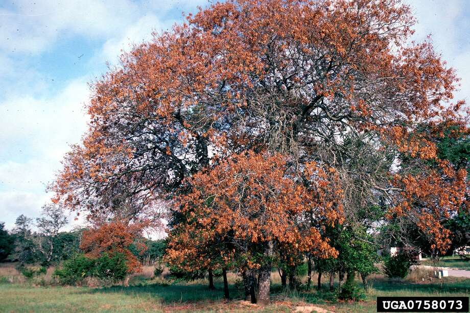 Oak wilt (Certatocystis fagacearum) All oaks (Quercus sp.) are susceptible to oak wilt to some degree, but some species are affected more than others. Red oaks, particularly Spanish oak (Q. buckleyi), Texas red oak (Q. texana), Shumard oak (Q. shumardii), and blackjack oak (Q. marilandica), are extremely susceptible and may play a unique role in the establishment of new oak wilt infections. Photo: William M Ciesla, Forest Health Management International, Bugwood.org
