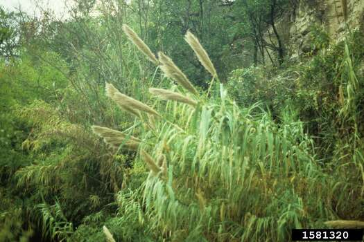 Giant reed (Arundo donax) Giant reed chokes riversides and stream channels, crowds out native plants, interferes with flood control, increases fire potential, and reduces habitat for wildlife, including the Least Bell's vireo, a federally endangered bird. Photo: John Ruter, University Of Georgia, Bugwood.