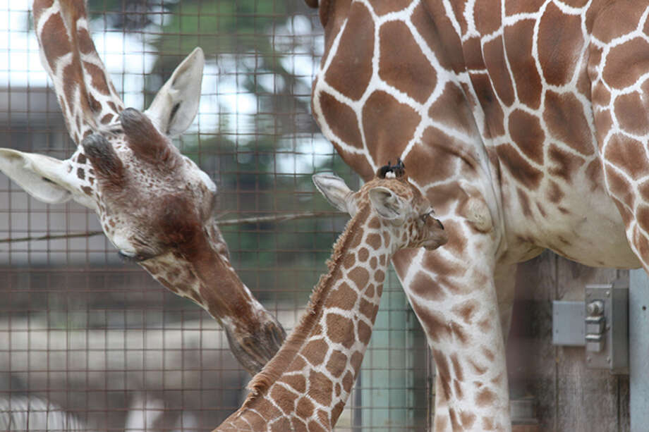 Bititi, an 11-year-old female giraffe, nuzzles with her new calf. Photo: San Francisco Zoo