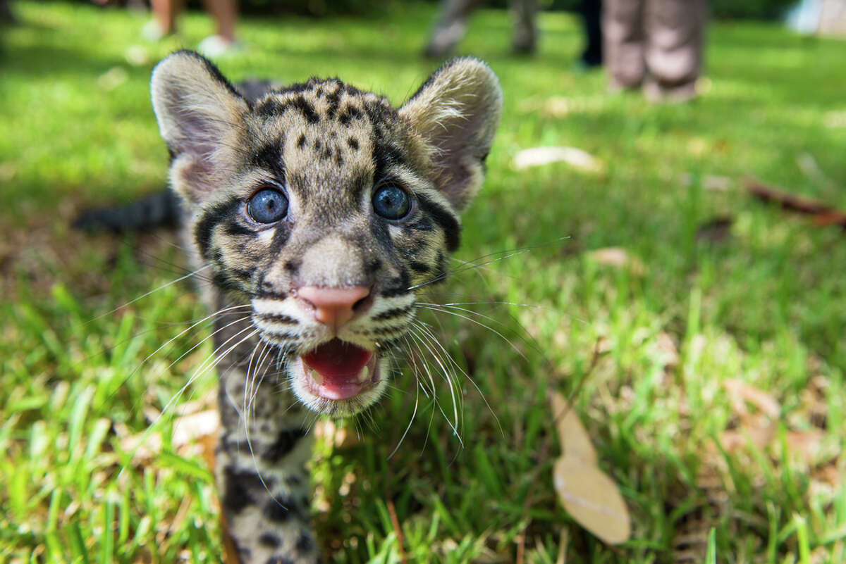 1. Procacious playboys Now six month old clouded leopard cubs Koshi and Senja took the media by storm on their debut at the Houston Zoo in September. The unbearably cute fuzzballs' faces went stellar across the web, appearing as faraway as Sydney, Australia.