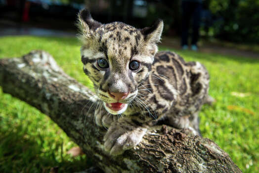 Twelve-week-old clouded leopard cubs Koshi and Senja took their first romp in the grass Friday during their final days behind-the-scenes at the Houston Zoo. As they grow, their mischievous personalities are coming out. Koshi thinks it's fun to practice his aerial skills by leaping onto the caregivers while Senja prefers climbing and has perfected the art of escaping over the baby gate barrier.  The pair, born June 6, will make their public debut in mid-September. Photo: Stephanie Adams,  Houston Zoo/Stephanie Adams / © Houston Zoo/Stephanie Adams
