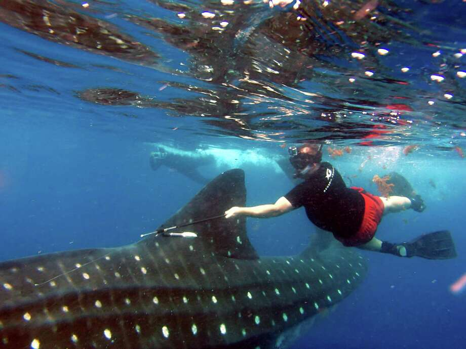 The tag was put on a 25-30 foot long female whale shark off Isla Contoy NE of Cancun in Mexico.  It contains around a year's worth of data which researchers say is invaluable in their quest to understand the largest fish in the ocean. Photo: Rafael De La Parra/Georgia Aquarium
