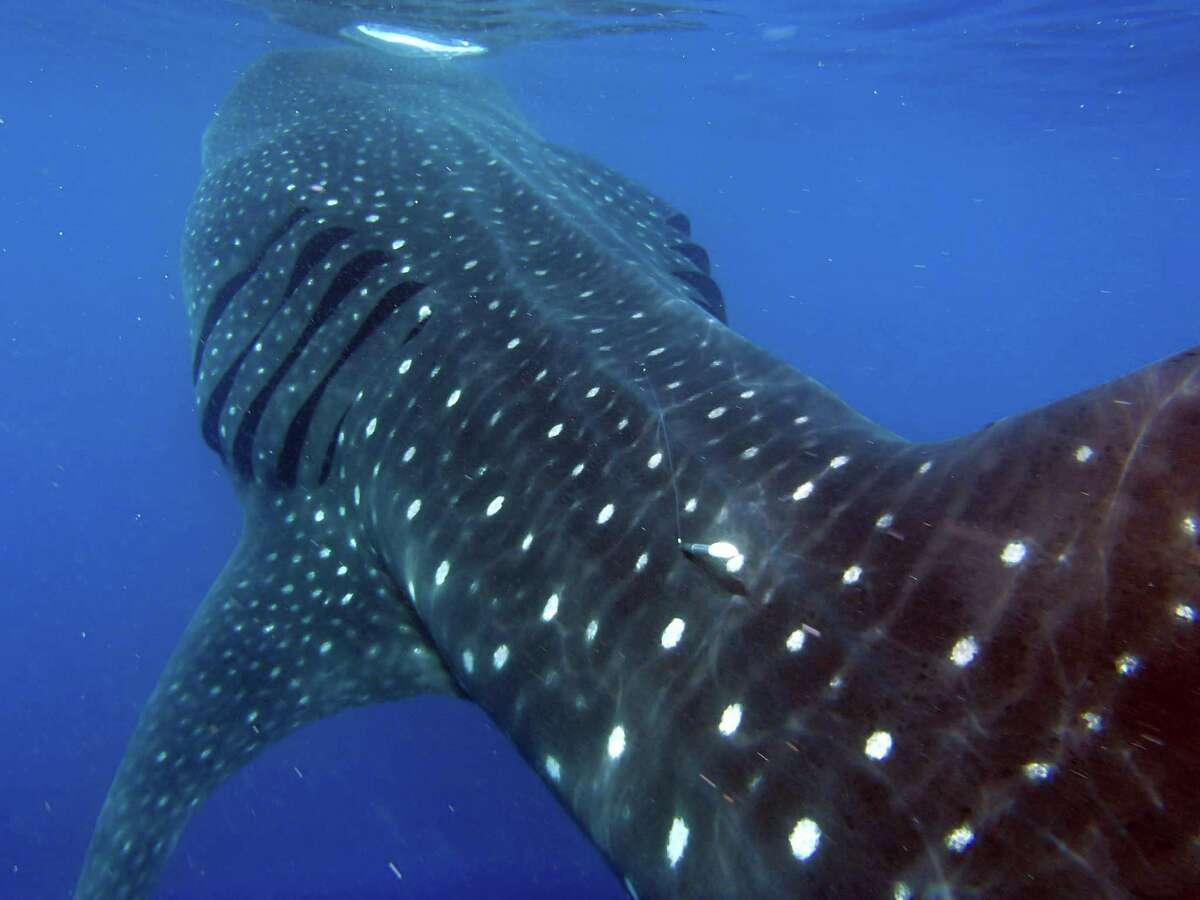 The tag was put on a 25-30 foot long female whale shark off Isla Contoy NE of Cancun in Mexico. It contains around a year's worth of data which researchers say is invaluable in their quest to understand the largest fish in the ocean.