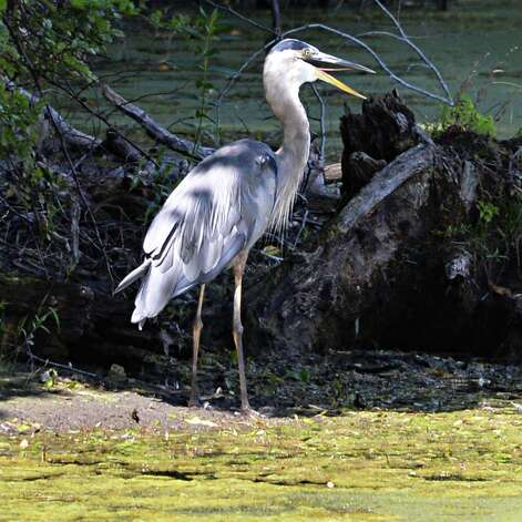 A Great Blue Heron forages along the shore of a pond Friday Aug. 29, 2014, in Clifton Park, N.Y.  (John Carl D'Annibale / Times Union) Photo: John Carl D'Annibale