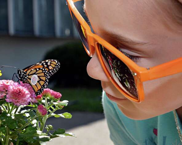 Girl Scout Samantha Lorenc, 8, of Burnt Hills keeps an eye on the Monarch butterfly she'd just tagged as it rests up in the certified Monarch butterfly urban way station Friday Aug. 29, 2014, at Girl Scouts of Northeastern New York Service Center in Colonie, N.Y.  (John Carl D'Annibale / Times Union) Photo: John Carl D'Annibale / 00028327A