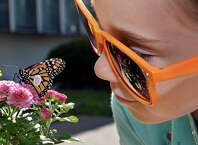 Girl Scout Samantha Lorenc, 8, of Burnt Hills keeps an eye on the Monarch butterfly she'd just tagged as it rests up in the certified Monarch butterfly urban way station Friday Aug. 29, 2014, at Girl Scouts of Northeastern New York Service Center in Colonie, N.Y.  (John Carl D'Annibale / Times Union)