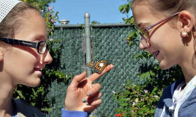 Girl Scouts Emily DelGrosso, left, 12, and Clarissa Ryan, 12, both of Clifton Park, with the Monarch butterfly they tagged  Friday Aug.  29, 2014, at the Girl Scouts of Northeastern New York Service Center in Colonie, N.Y.  (John Carl D'Annibale / Times Union) Photo: John Carl D'Annibale / 00028327A