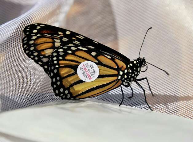 A Monarch butterfly tagged at Girl Scouts of Northeastern New York Service Center Friday, Aug. 29, 2014, in Colonie, N.Y.  (John Carl D'Annibale / Times Union) Photo: John Carl D'Annibale / 00028327A