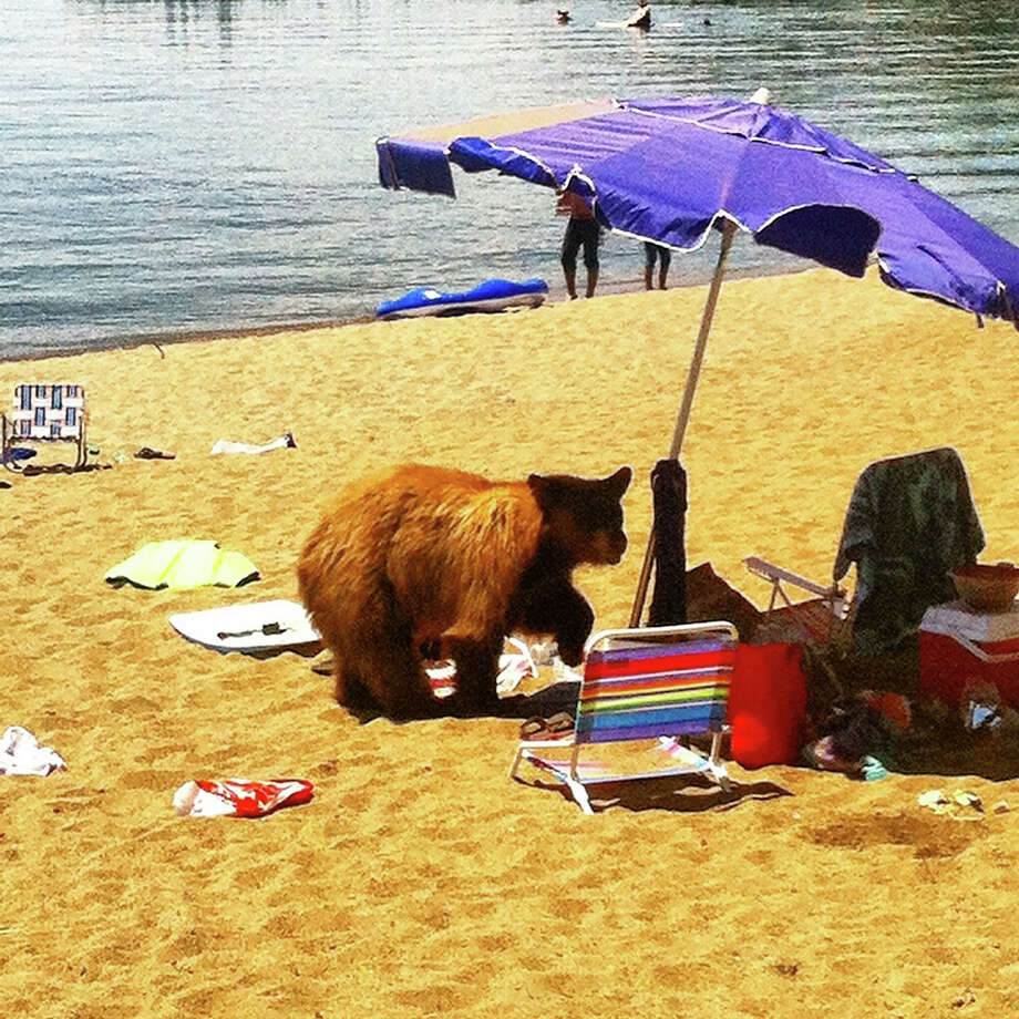 A bear broke up a beach party in July at Glenbrook Beach at Lake Tahoe Photo: Nevada Department Of Wildlife