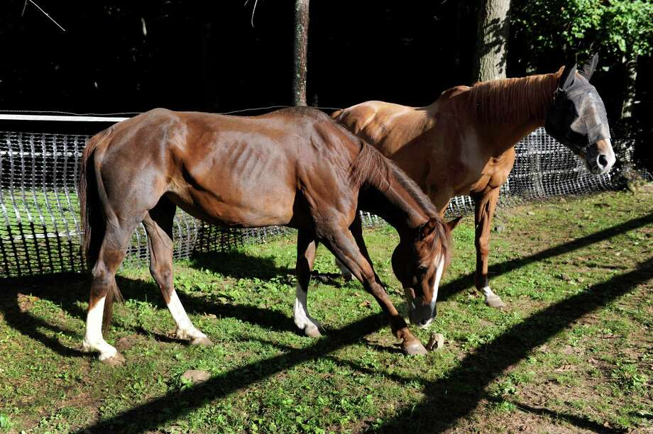 These two horses, still too skinny from being denied food from their previous owners, are being rehabilitated at H.O.R.S.E. of Connecticut  in New Preston, Conn., Friday, Aug. 29, 2014. The organization rescues horses. Photo: Carol Kaliff / The News-Times