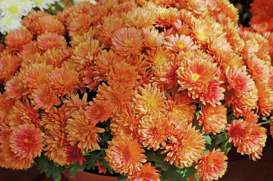 A sale of chrysanthemums over the next several weeks will benefit the Fairfield Senior Center. Photo: File Photo / Fairfield Citizen