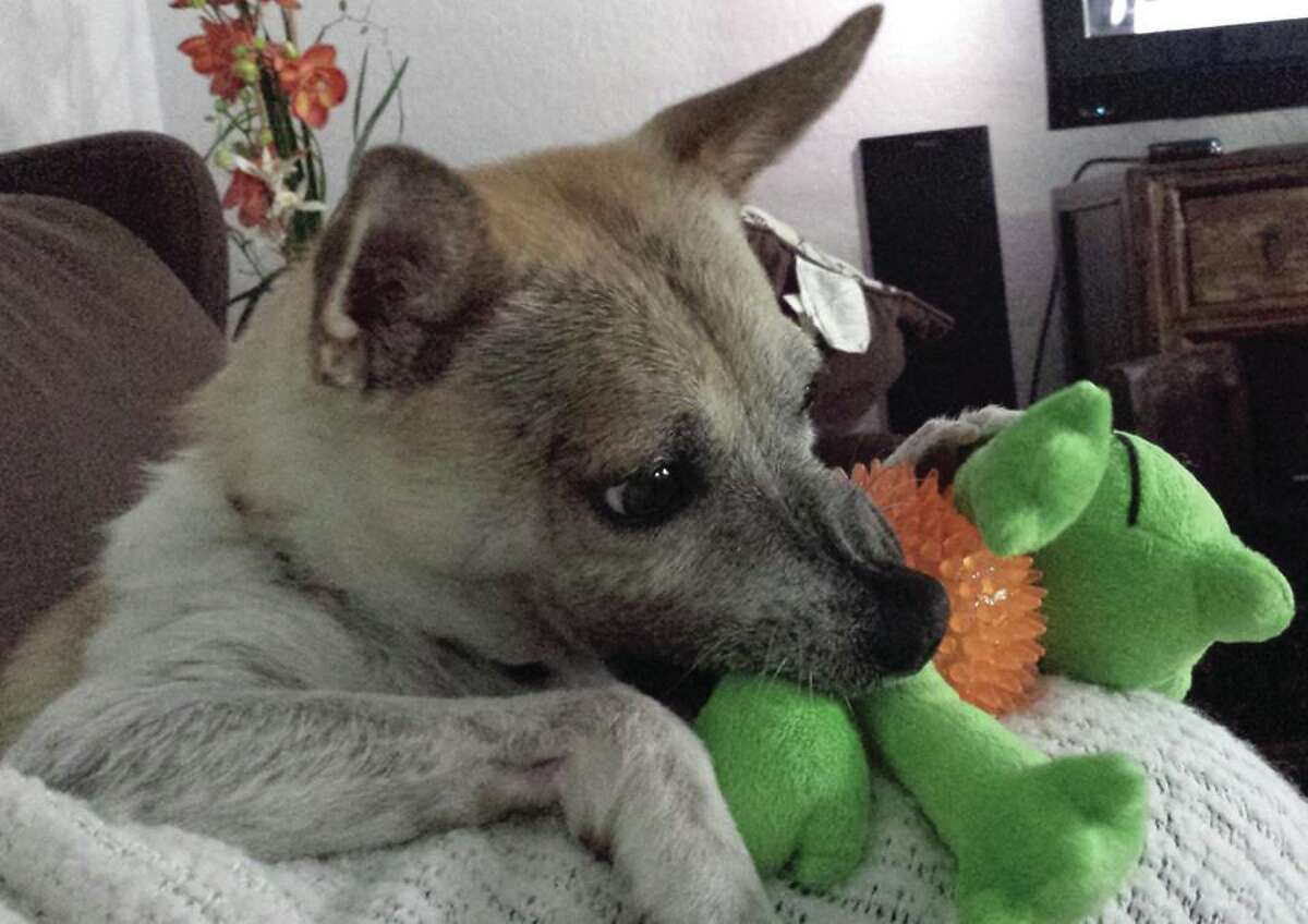 With more of his fur grown in and healthier, Rusty the San Antonio Miracle Dog plays with a new toy at his foster home in August 2014. Rusty was rescued by Animal Care Services in March 2014; he was found nearly starved and dehydrated to death but has made a remarkable recovery.
