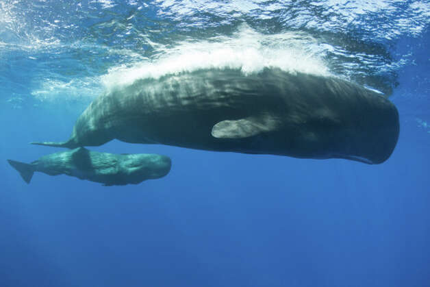 Sperm Whale Also endangered  the sperm whale is the largest of the    High Finned Sperm Whale