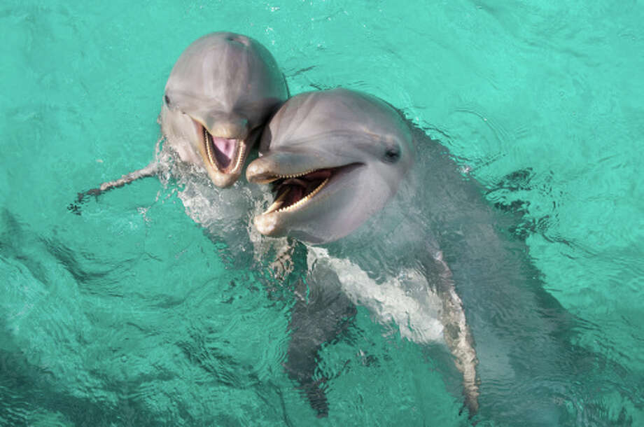 Atlantic bottlenose dolphins Socially very tactile and will constantly touch and rub each other to affirm relations.  Cute!  Also endangered... Photo: Eco/UIG, Getty Images / Universal Images Group