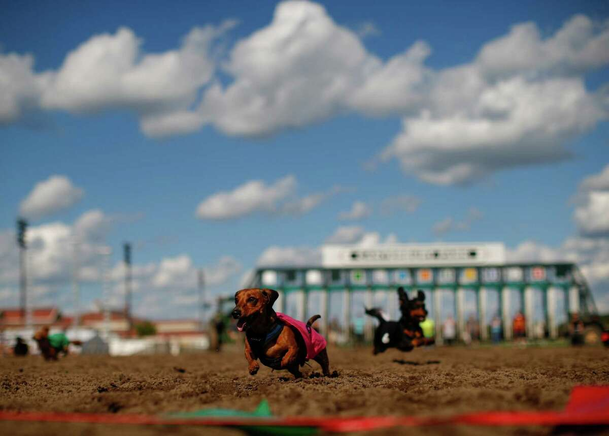 Mr. Peabody runs towards the finish line in the sixth heat of a dog race Monday, Sept. 1, 2014, at Canterbury Park, in Shakopee, Minn.