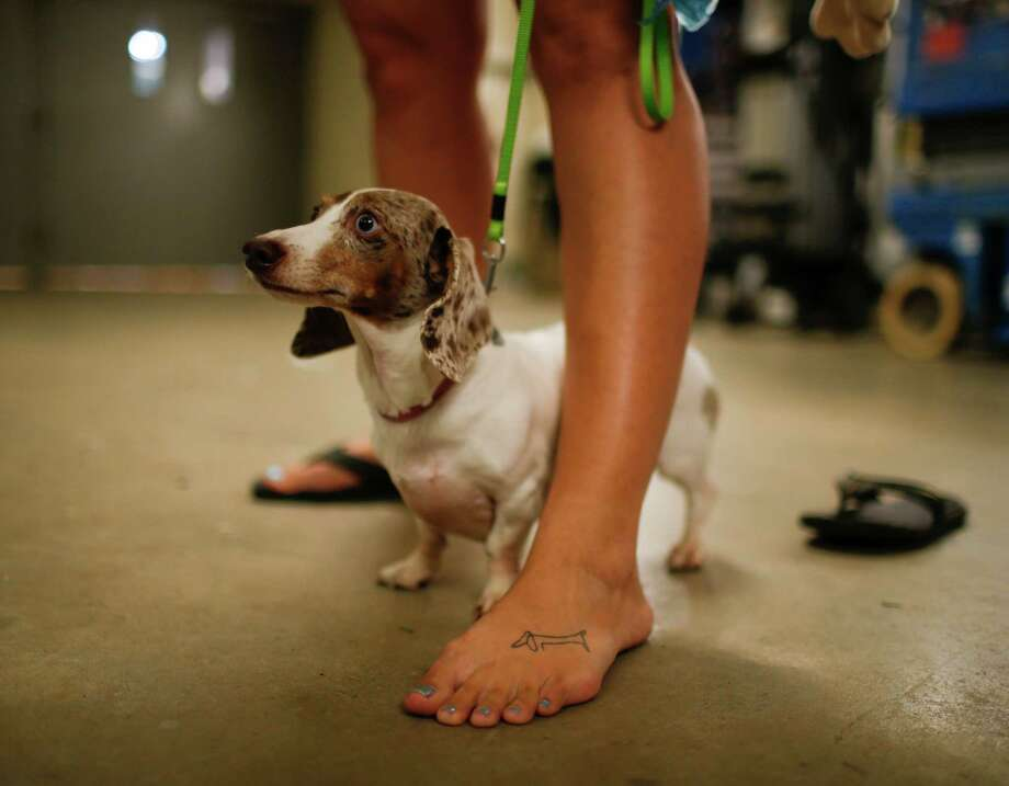 Harlie stood at his owner's feet before getting her racing silks on Monday, Sept. 1, 2014, at Canterbury Park, in Shakopee, Minn.  Photo: Jeff Wheeler, Associated Press / The Star Tribune