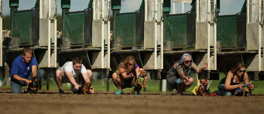 Handlers release the dogs at the start of the Championship race Monday, Sept. 1, 2014, at Canterbury Park, in Shakopee, Minn. Photo: Jeff Wheeler, Associated Press / The Star Tribune