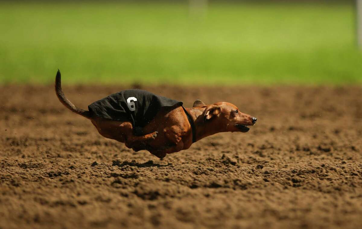 Spunky runs during the third heat of a dog race Monday, Sept. 1, 2014, at Canterbury Park, in Shakopee, Minn. Canterbury Park hosted their annual Labor Day Wiener Dog Wars in which dogs competed in seven races on the horse track for the title of Grand Champion.
