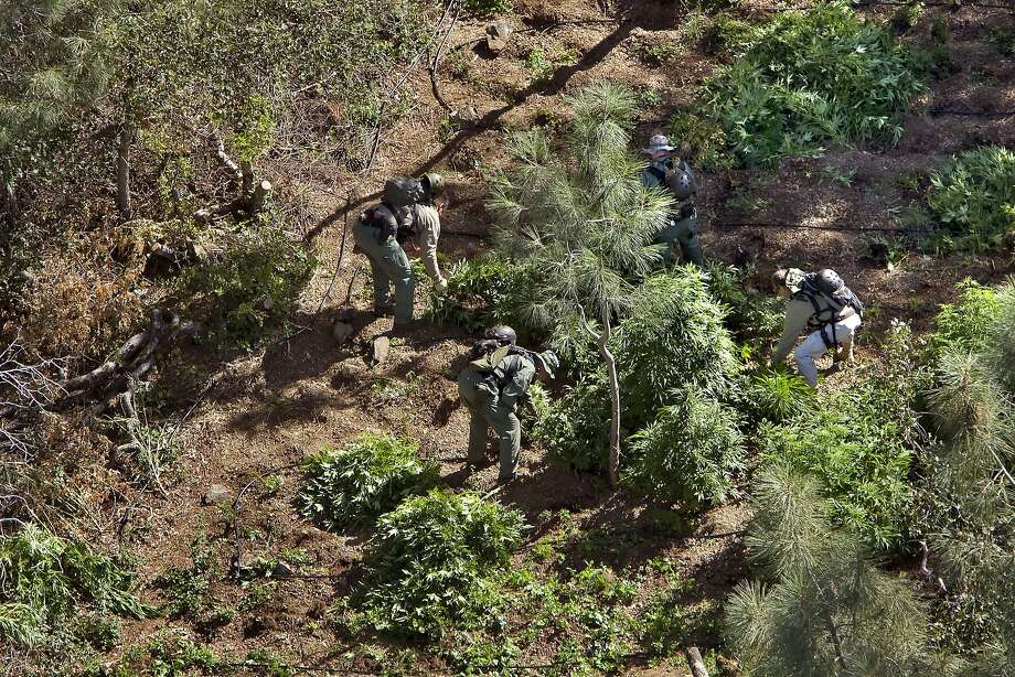 Members of the organization Campaign Against Marijuana Planting remove pot plants from a forest above Lake Shasta in Shasta County. Illegal pot-growing operations raise concerns about environmental impact. Photo: Carlos Avila Gonzalez, The Chronicle