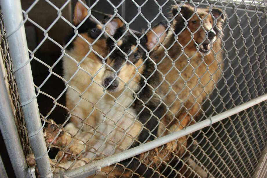 These dogs were among more than 90 rescued from a Tomball woman's home on Aug. 29, 2014. Photo: Houston Collie Rescue
