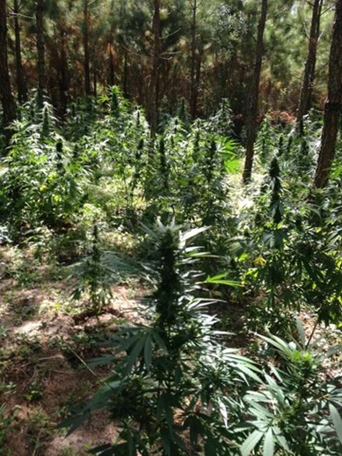 Polk County authorities uncovered another massive marijuana farm in their jurisdiction, this one containing roughly 9,600 plants, according to the Montgomery County Police Reporter. Photo: Scott Engle ,  Montgomery County Police Reporter