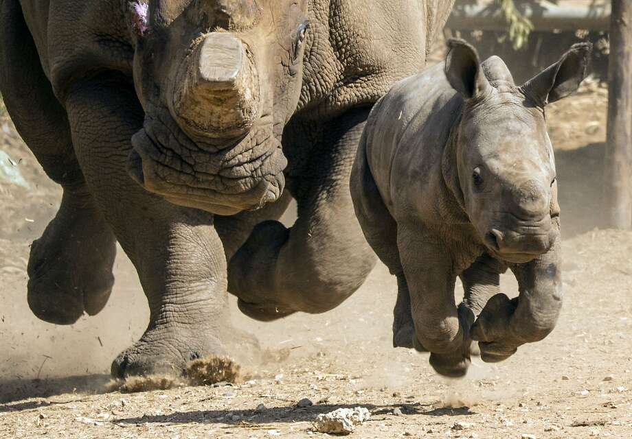 Aww, baby's first stampede:White rhino Tanda's 3-week-old Shrek-eared bundle of joy runs at Ramat Gan Safari, an open-air zoo near Tel Aviv. Photo: Jack Guez, AFP/Getty Images