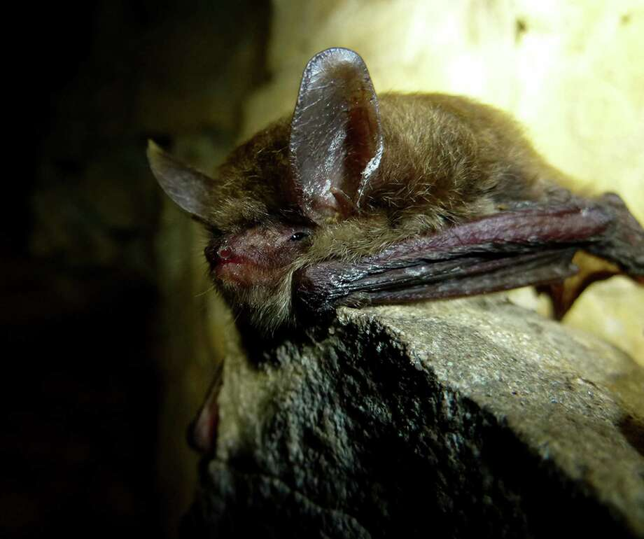 In April the U.S. Fish and Wildlife Service will rule on the endangered status of the Northern Long-eared Bat. This Long-eared Bat pictured is suffering form White Nose Fungus. Photo: Contributed Photo / The News-Times Contributed