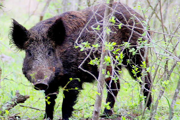 Unlike Texas and most other states, Kansas has had great success in eliminating invasive feral hogs during the past several years.