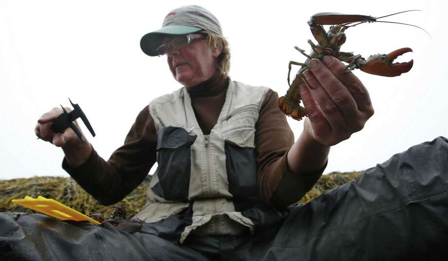 Diane Cowan, executive director and senior scientist of the Lobster Conservancy, reads a caliper while measuring a juvenile lobster on the shore of Friendship Long Island, Maine. Photo: Associated Press / AP