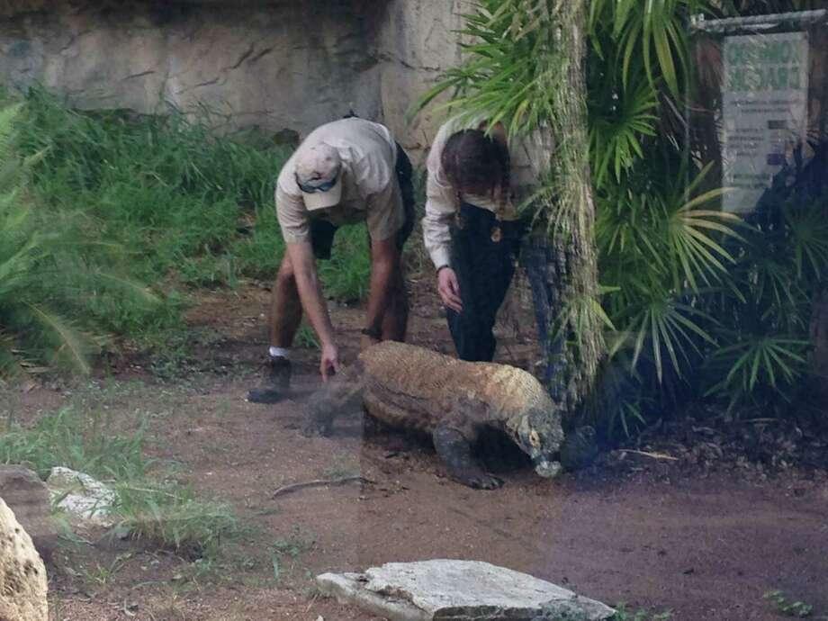 Komodo Dragon At San Antonio Zoo Gets Acupuncture Houston Chronicle