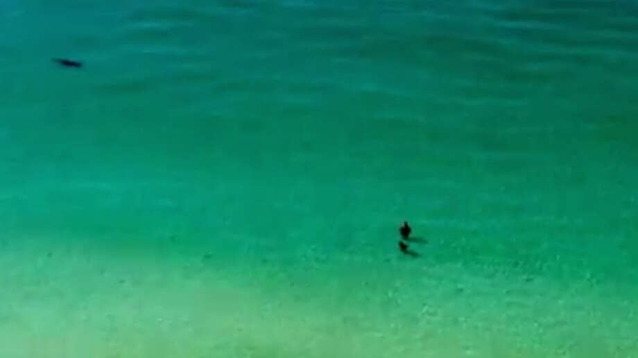 Two unsuspecting waders in Destin, Florida got a lot closer to a huge hammerhead than they would have liked as the fish swam right towards them chasing a stingray. Photo: Scott McCain/You Tube