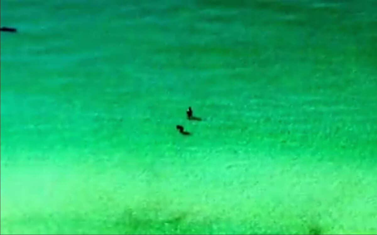 Two unsuspecting waders in Destin, Florida got a lot closer to a huge hammerhead than they would have liked as the fish swam right towards them chasing a stingray.