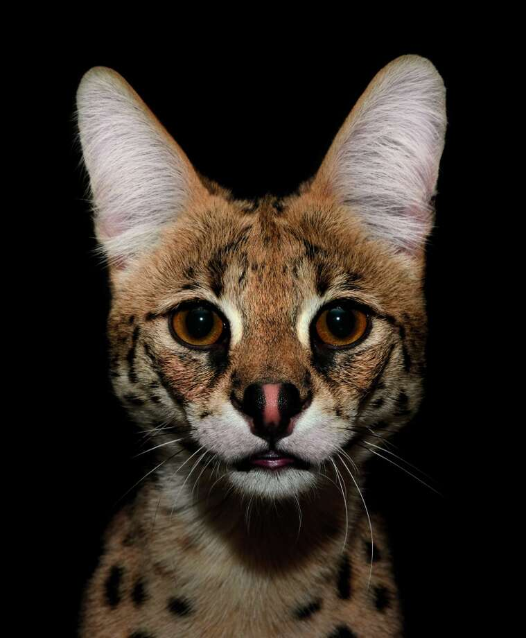 The serval, the cat whorshipped by ancient Egyptians, is the most skilled of the wildcats, killing roughly half of what it hunts. Photo: Traer Scott