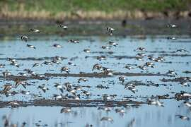 Dunlins, a migratory shorebird, lift off from rice field flooded with well water as part of new habitat program developed by The Nature Conservancy with rice farmers in Sacramento Valley