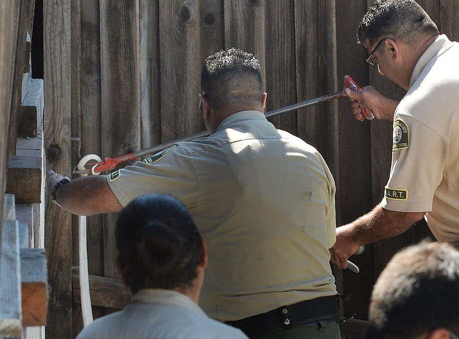 Lt. Fred Agoopi (right) from Los Angeles County Animal Care & Control, captures a venomous albino monocled cobra in Thousand Oaks. The snake had gone missing Monday. Photo: Chuck Kirman / Ventura County Star / Ventura County Star