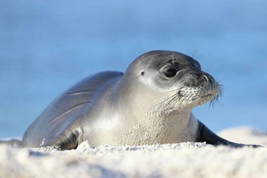 Ikaika, a male Hawaiian monk seal pup, was one of the first four patients at the Marine Mammal Center's Ke Kai Ola Hawaiian Monk Seal Hospital in Kailua-Kona, Hawaii. Credit -- Koa Matsuoka, NMFS Permit 16632-00 and 932-1905-01MA-009526-1 Photo: Koa Matsuoka, Marine Mammal Center / The Marine Mammal Center