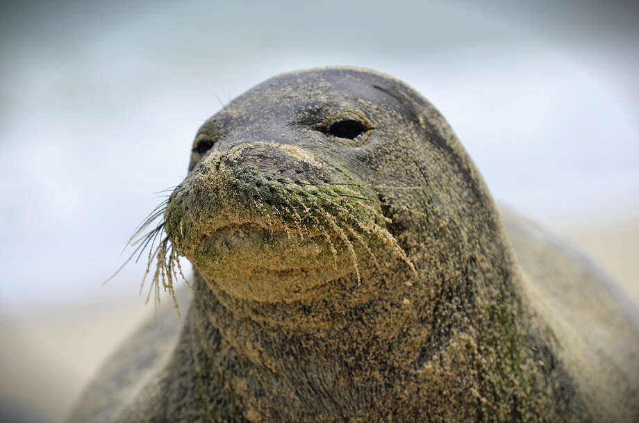 Sandy whiskers, as seen on this Oʻahu Hawaiian monk seal, are not uncommon on basking seals — but make sure you use a zoom lens from at least 50 yards away to get this kind of shot. Last month, an Oahu tourist harassed a sleeping monk seal by whacking it on the back, an illegal act that was caught on video. Photo: Brian Russo / Flickr.com, [Creative Commons License]