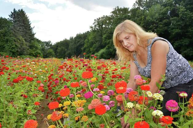Floral designer for Buhrmaster Farms, Sandy Campana picks Zinnias for sale at their farm stand on Route 50, Thursday Sept. 4, 2014, in Glenville, NY.  (John Carl D'Annibale / Times Union) Photo: John Carl D'Annibale