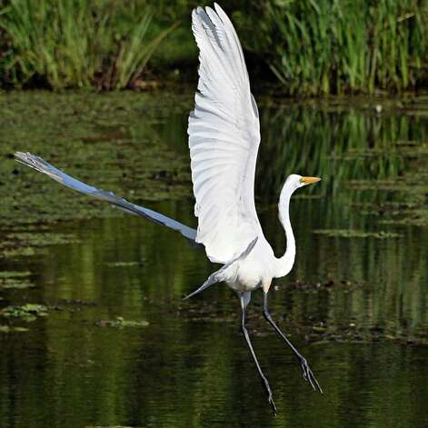 A White Egret takes flight along a weedy bank of the Mohawk River Thursday Sept. 4, 2014, in Halfmoon, NY.  (John Carl D'Annibale / Times Union) Photo: John Carl D'Annibale