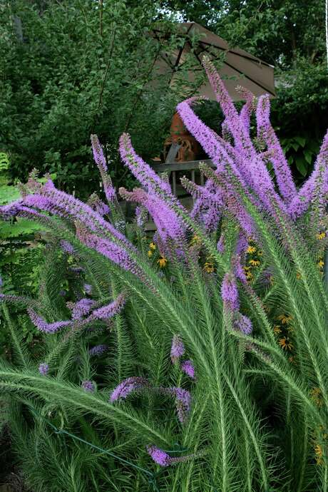 Purple liatris, a deep-rooted plant native to the Houston area, absorbs rainwater and attracts butterflies. Photo: BRUCE BENNETT, FREELANCE / FREELANCE