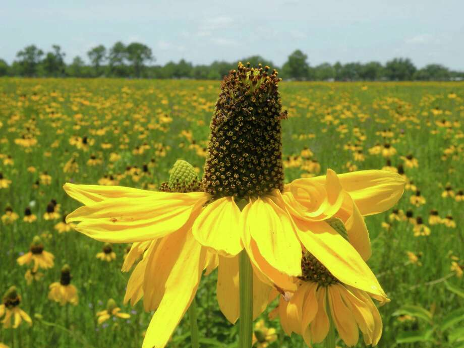 The Native Plant Society of Texas Houston Chapter's upcoming Wildscape workshop and sale will feature plants native to Harris and surrounding counties. One highlight is Rudbeckia texana, a beautiful black-eyed Susan. See details in the garden calendar.  Photo: Picasa