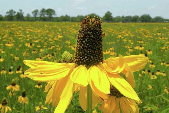 The Native Plant Society of Texas Houston Chapter's upcoming Wildscape workshop and sale will feature plants native to Harris and surrounding counties. One highlight is Rudbeckia texana, a beautiful black-eyed Susan. See details in the garden calendar.
