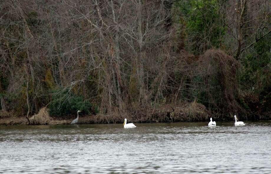 A variety of birds are shown on Lake Houston along the Commons of Lake Houston Saturday, Feb. 1, 2014, in Houston. ( Melissa Phillip / Houston Chronicle ) Photo: Melissa Phillip, Staff / © 2014  Houston Chronicle