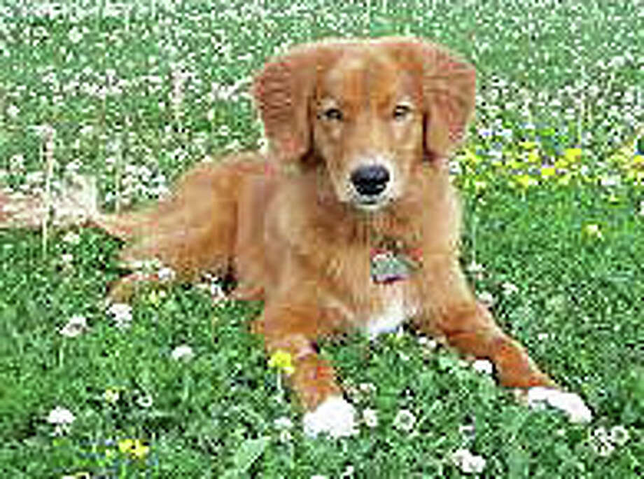 "A Nova Scotia Duck Tolling Retriever puppy, but not one of the litter that columnist Hank Herman is monitoring via the ""puppy cam."" Photo: Contributed Photo / Westport News"