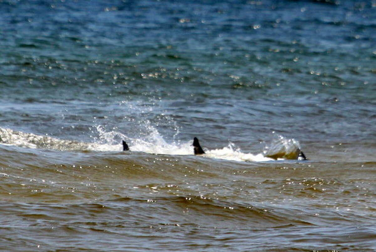 Es wird vermutet, dass sich die Haie versammelten, um die Schnappersaison zu nutzen, in der Fischergruppen das Wasser mit Fischresten verunreinigen - ein perfektes Haibuffet.