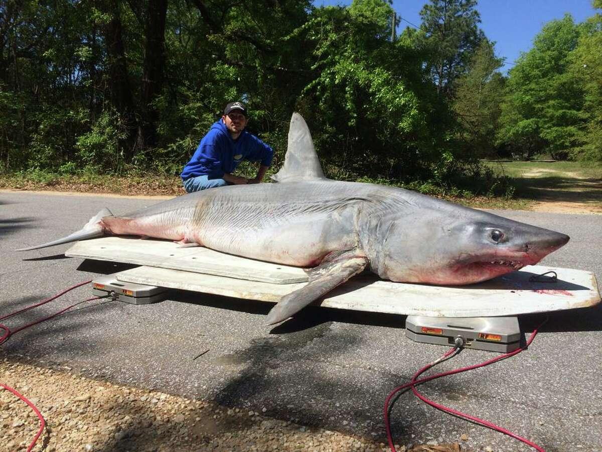 Der Fischer in Florida hat möglicherweise einen Rekord mit einem 800-Pfund-Mako-Hai. Die Familie Polk hat diesen 805 Mako, 11 Fuß lang, im April in einem ihrer Meinung nach neuen Weltrekord gefangen.