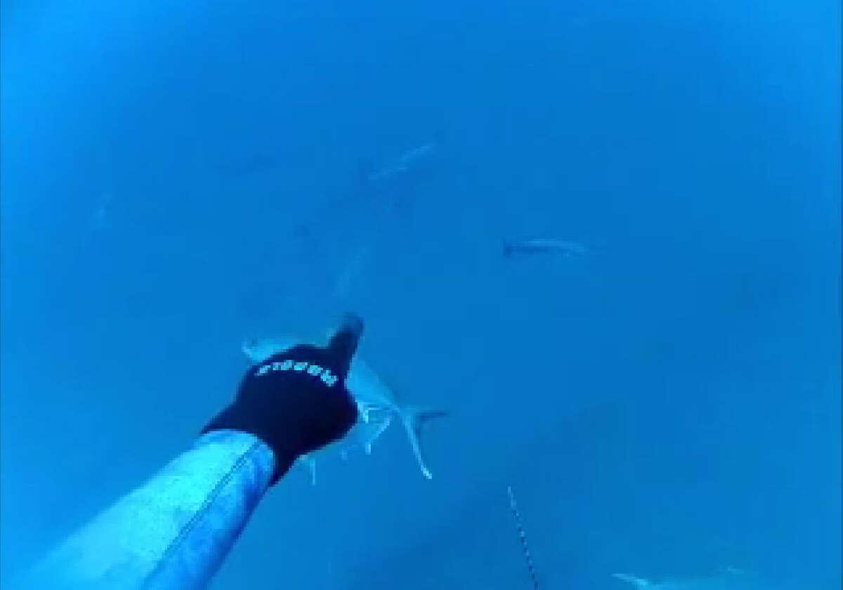 Taucher hatten einen Schock, als ein Weißer Hai auf einer Reise in den Golf gesichtet wurde.  Taucher entdeckten den Großen Weißen, der während eines Ausfluges 80 Meilen vor der Küste Floridas im April bedrohlich vorbeischwamm.